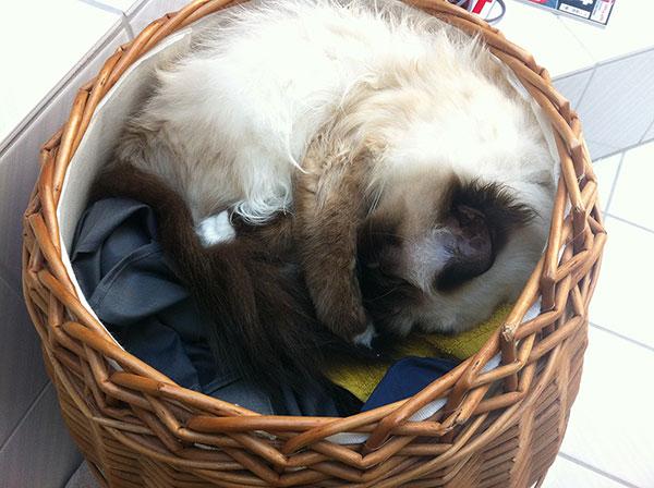Heilige Birma schläft im Wäschekorb